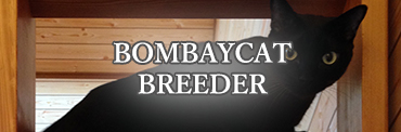 BOMBAYCAT BREEDER